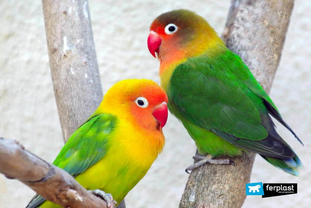 Lovebirds The Main Species Of Inseparable Parrots
