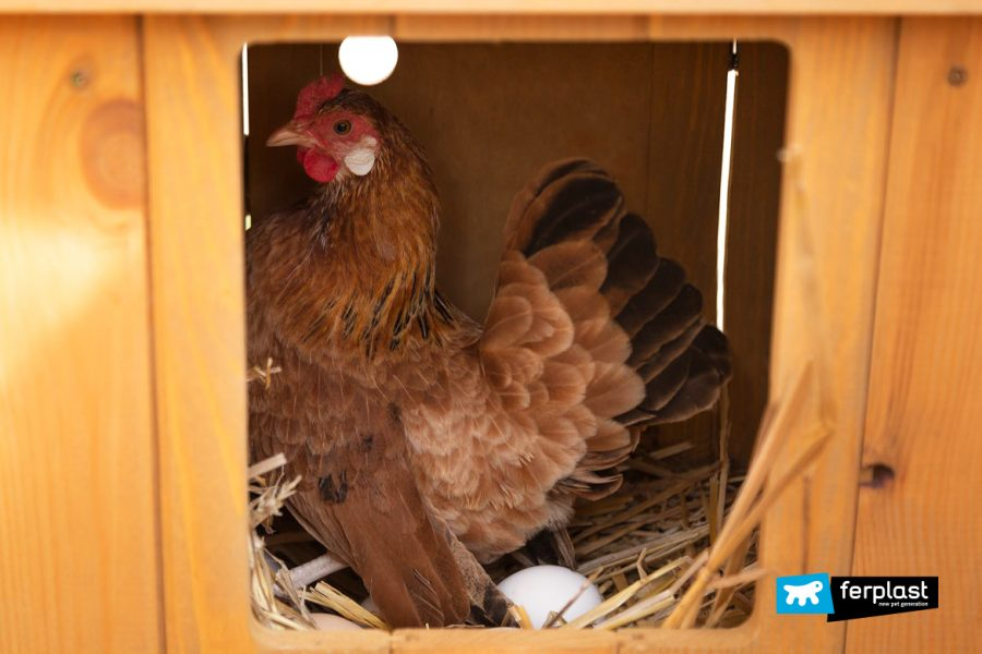 курицы курятники несушки яйца солома