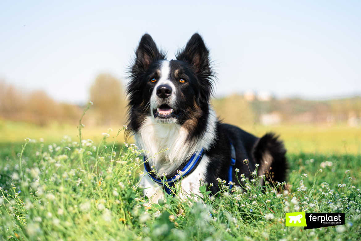 Attila-border-collie-ferplast-ambassador
