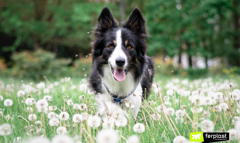 Alex border collie corre en el prado