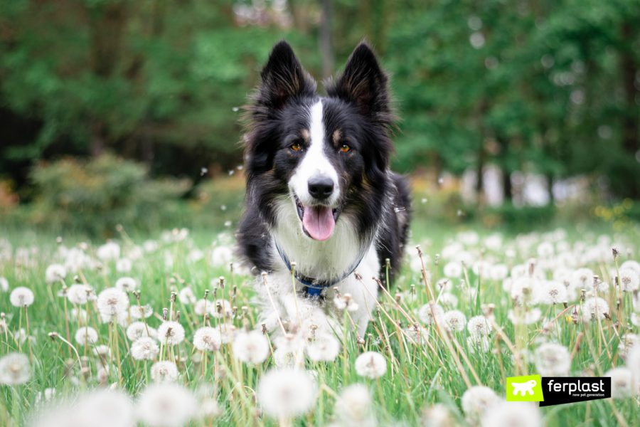 Alex border collie corre en el prado