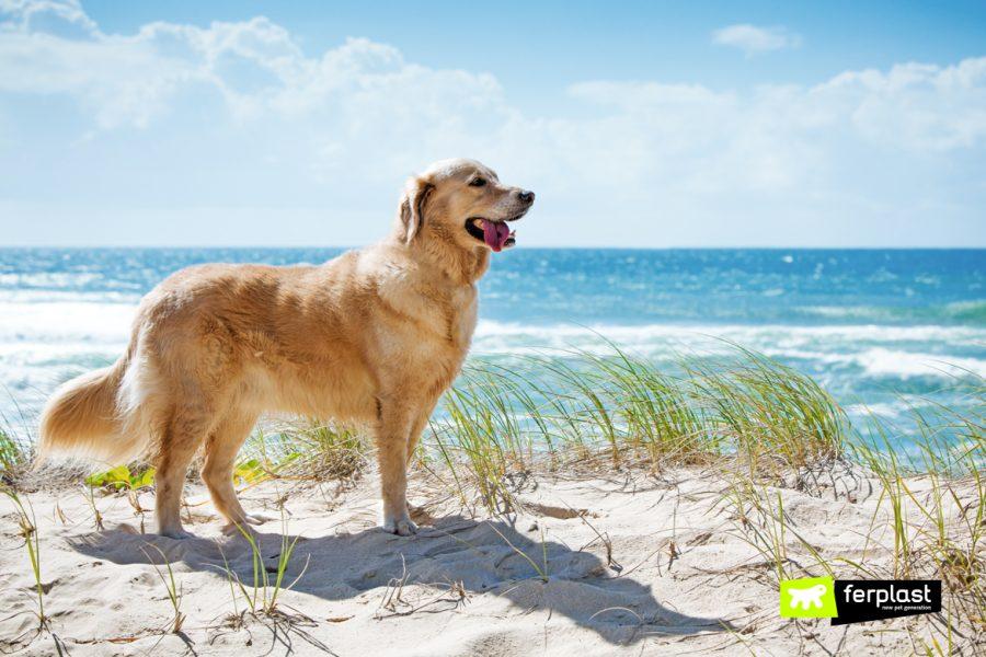 Golden-retriever-em-uma-duna-de-areia-com-vista-para-a-praia