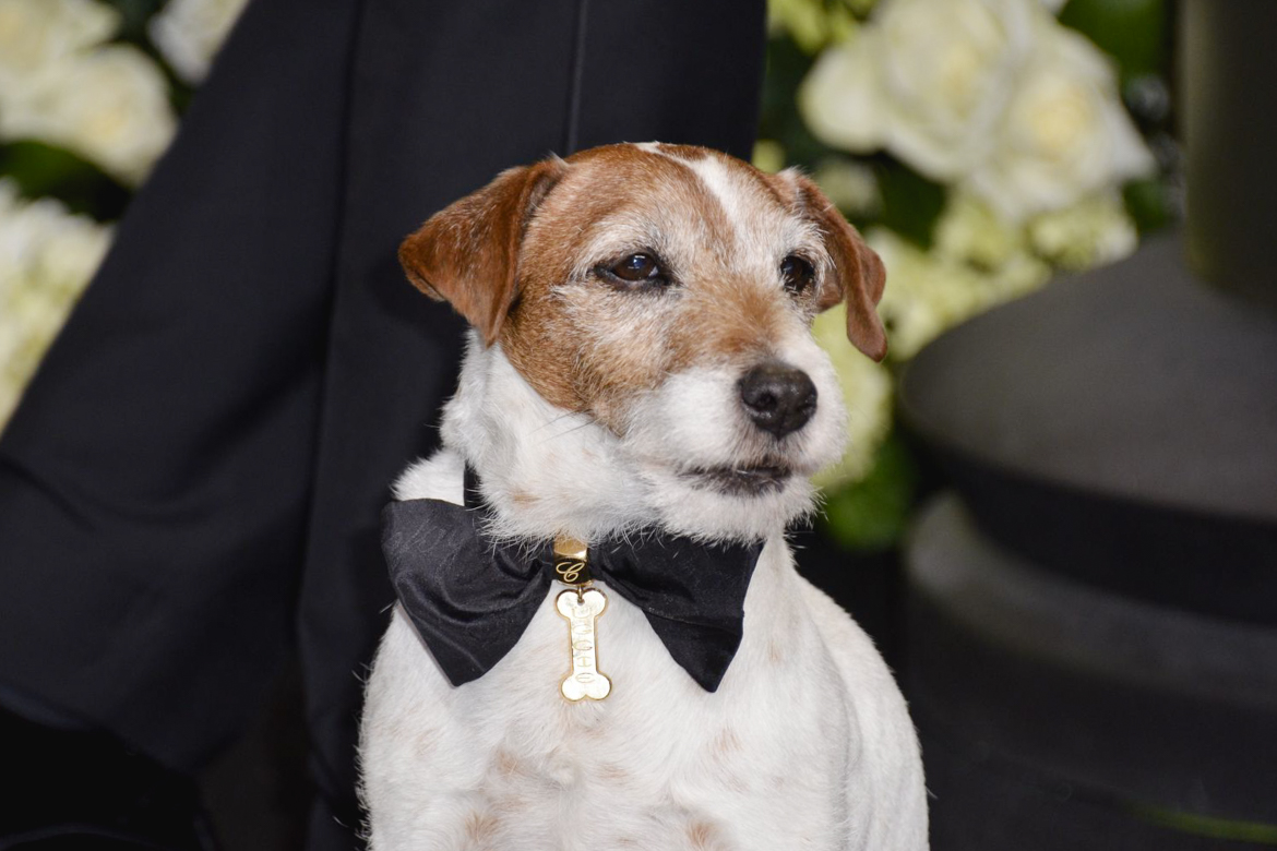 Uggie canne l'artiste jack russell