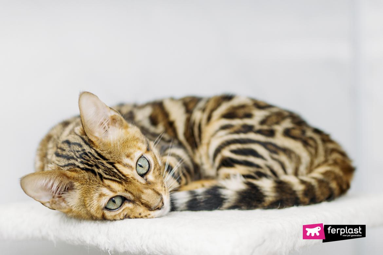 Бенгальский тигр-кошка-самые-красивые-породы-кошек