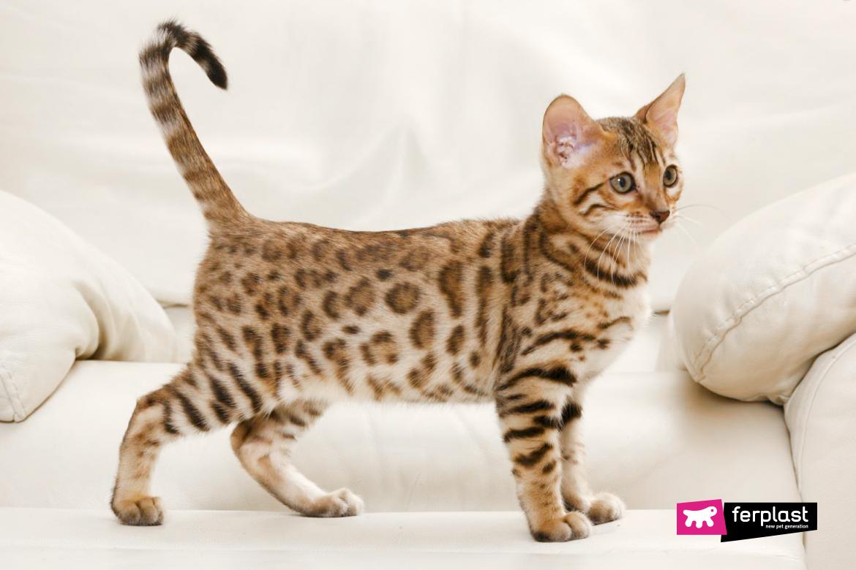 бенгальская кошка особой породы