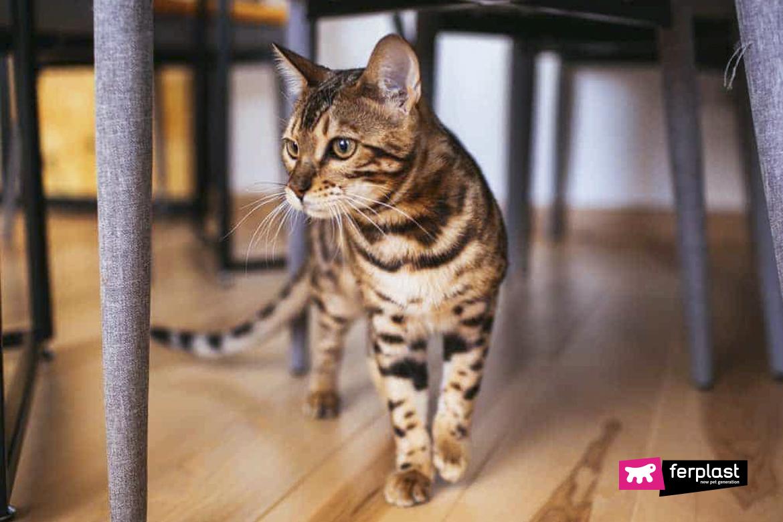 Характеристики породы бенгальских кошек
