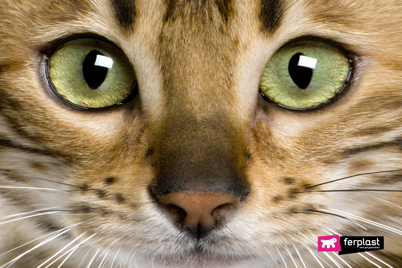Бенгальский тигр кошка самые красивые породы кошек