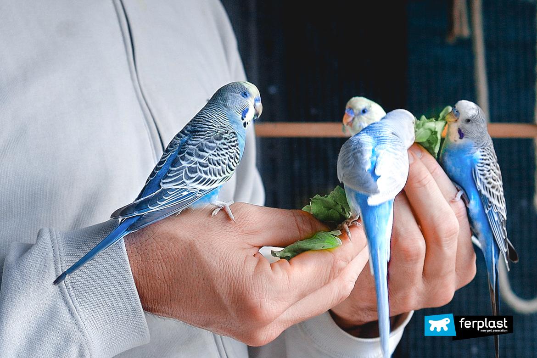 попугай что ест овощи