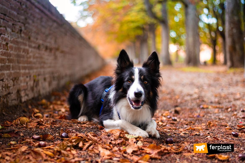 бордер колли спорт аджилити собака