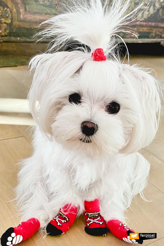 собака мальтийский щенок что знать