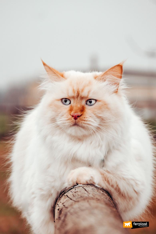 кошка сибирская кормящая