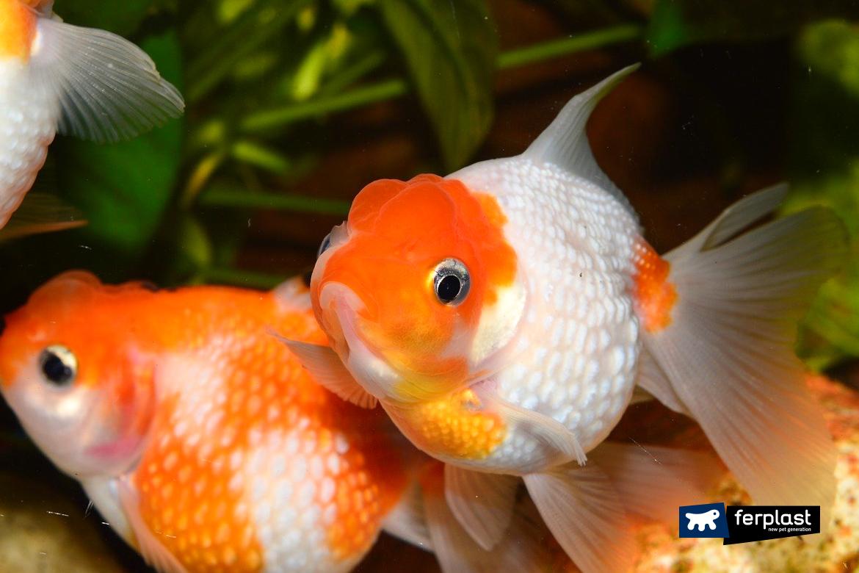 почему красная рыба меняет цвет