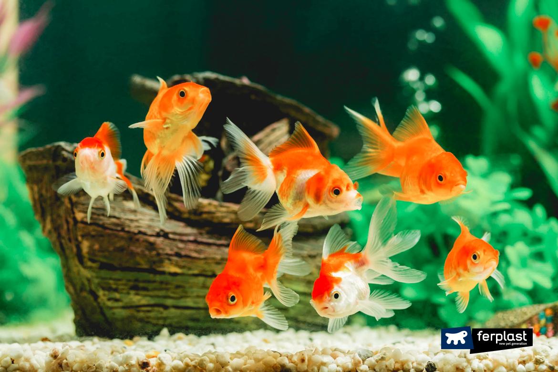 золото рыба цвет белый