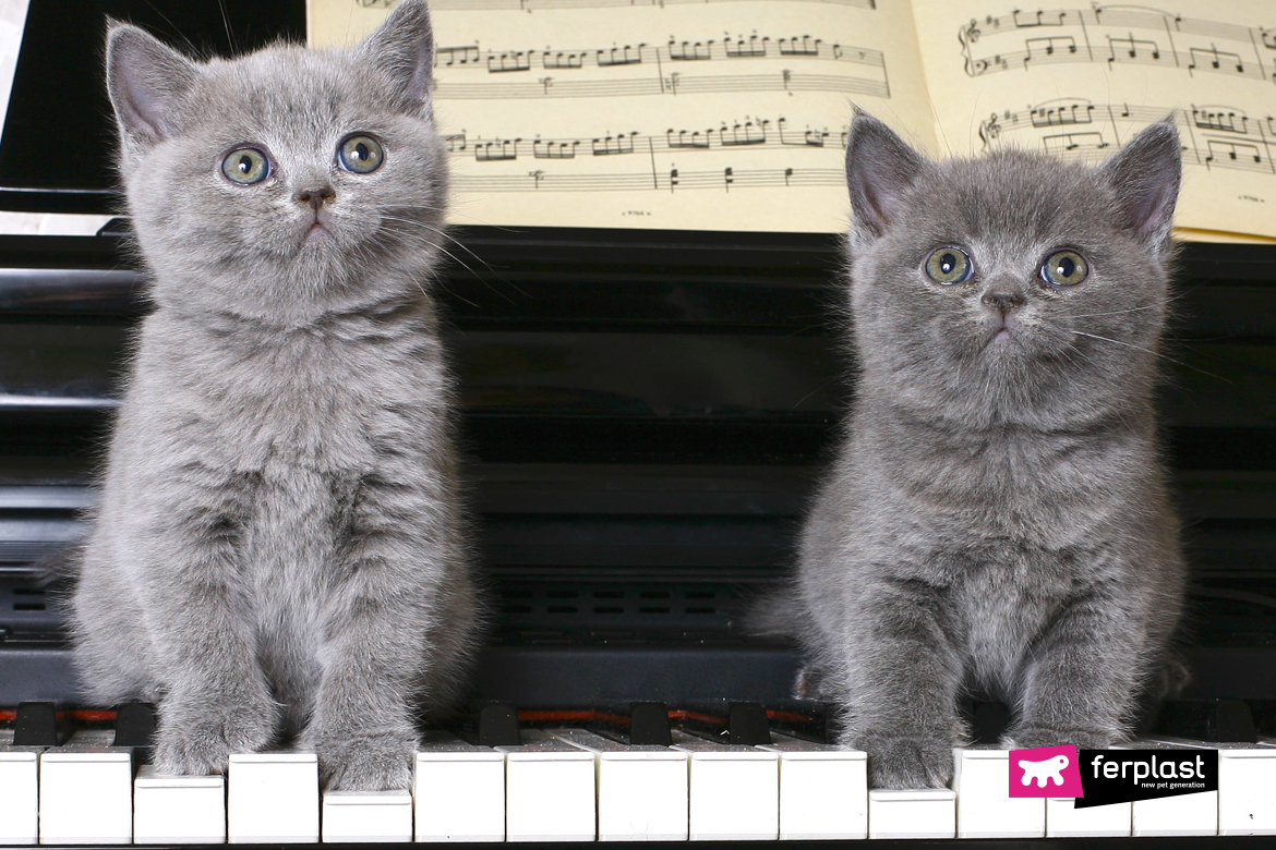 chatons chats piano chat chiots musique