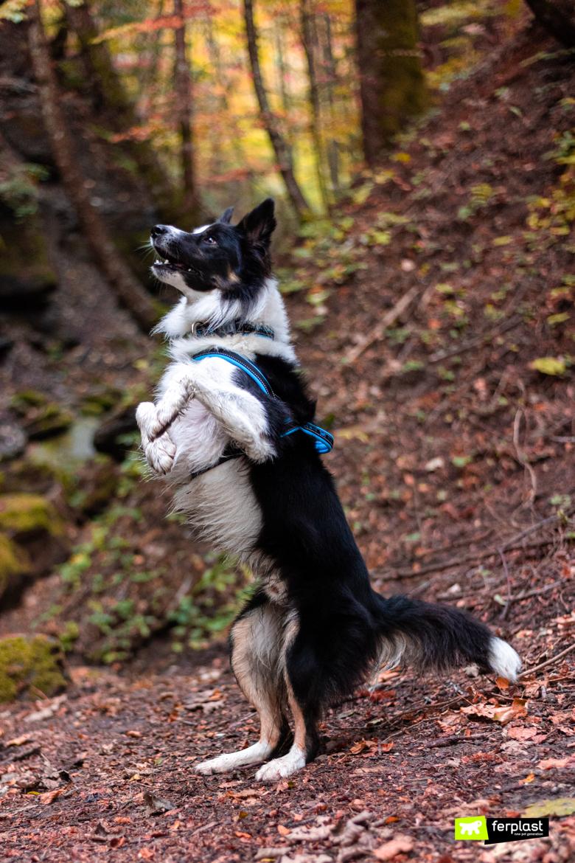 Бордер колли аттила ферпласт амбассадор природа прогулка осенние леса казентино листва