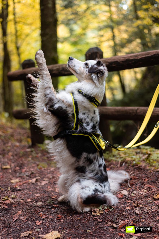 Австралийская овчарка ферпласт амбассадор прогулка природа осень спорт дож поводок