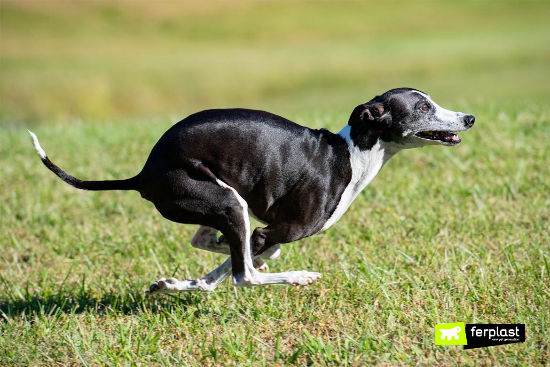 маленькие собаки десять фунтов итальянской борзой