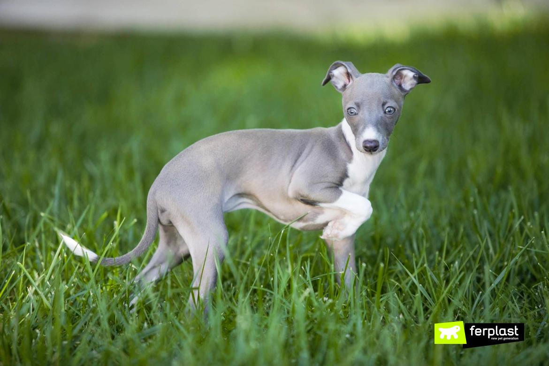 races de petits chiens de moins de dix kg