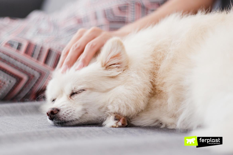 Массаж хозяина питомца с ее белой померанской собакой