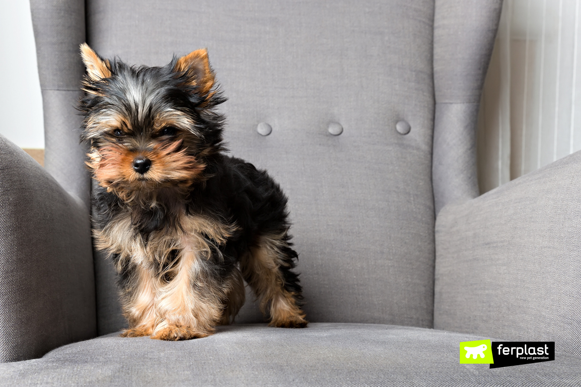 personnage yorkshire terrier