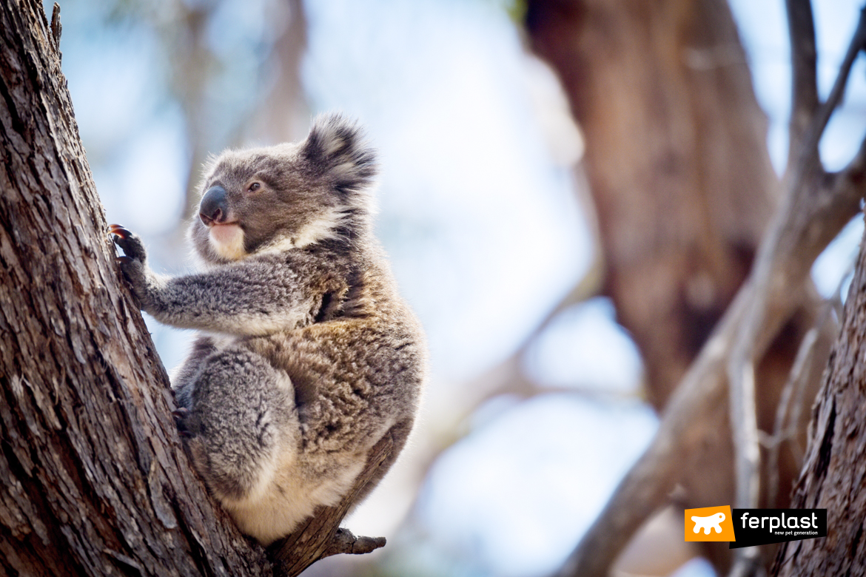 спасти коалу через вымирание пожертвования