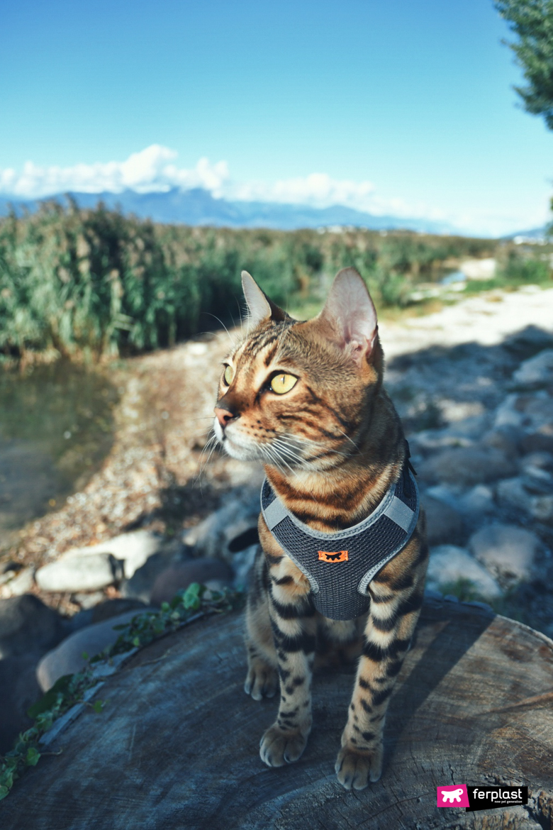 Alex Cat Bengal Instagram известный