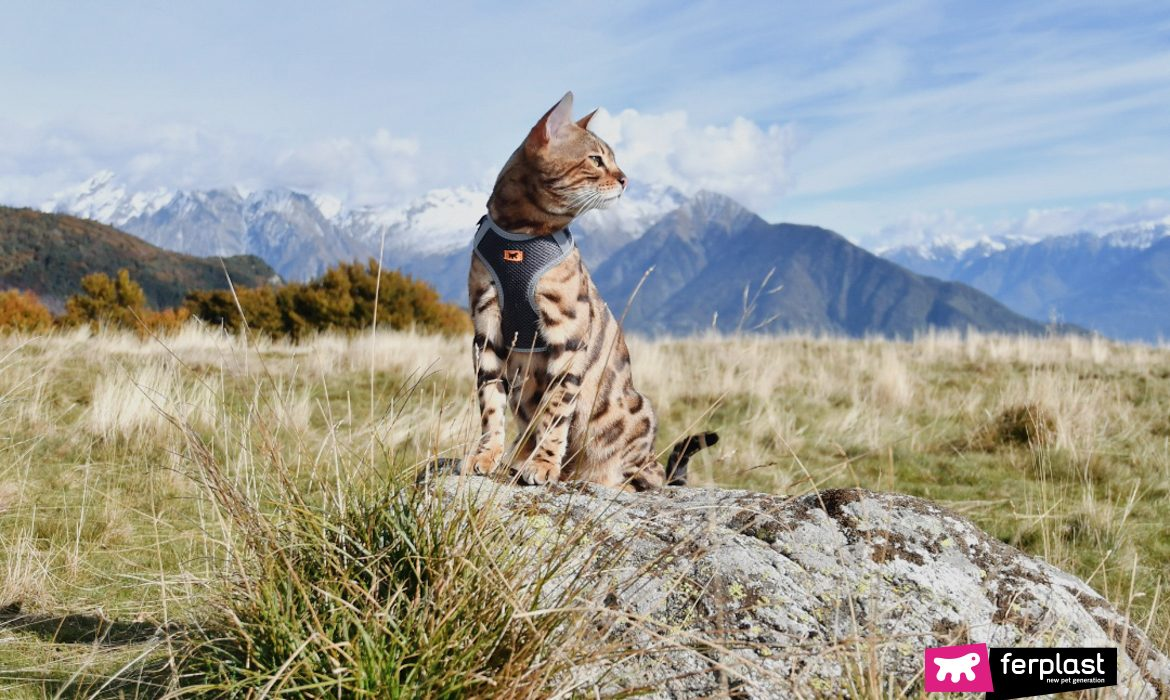 FERPLAST AMBASSADOR: ALEX, THE EXOTIC EXPLORER BENGAL CAT