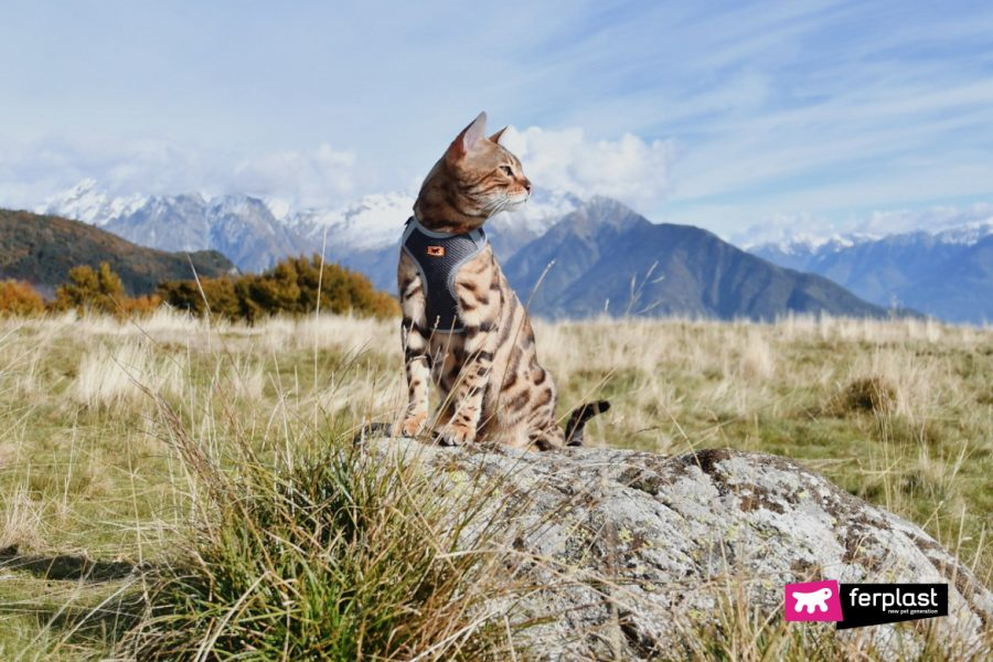 gatto del bengala curiosità