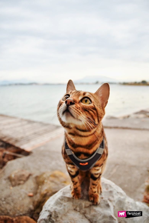 Мантия кошка бенгалия кисть для ухода