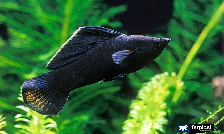 mise en place aquarium fish black molly