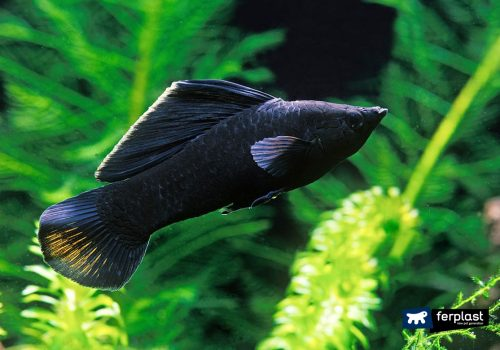 настроить аквариум рыба черная молли
