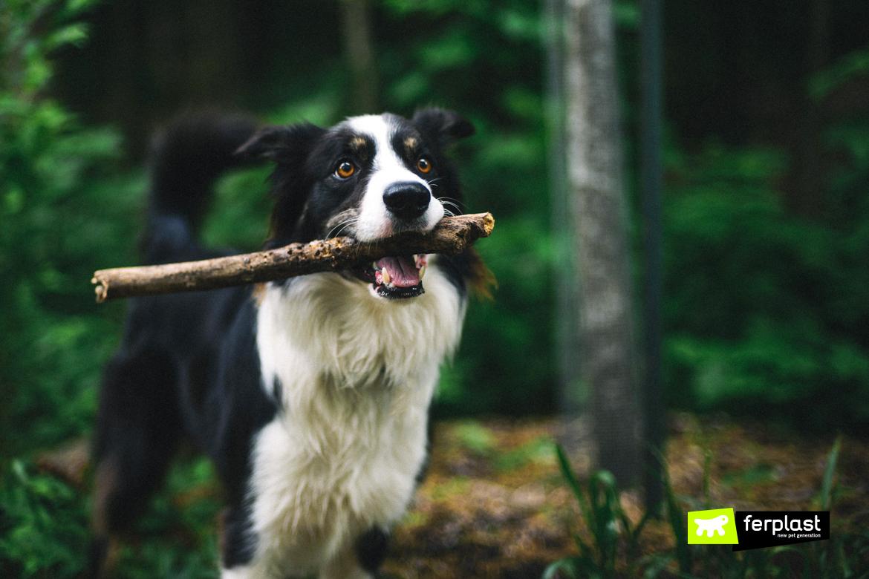 border collie chien berger race