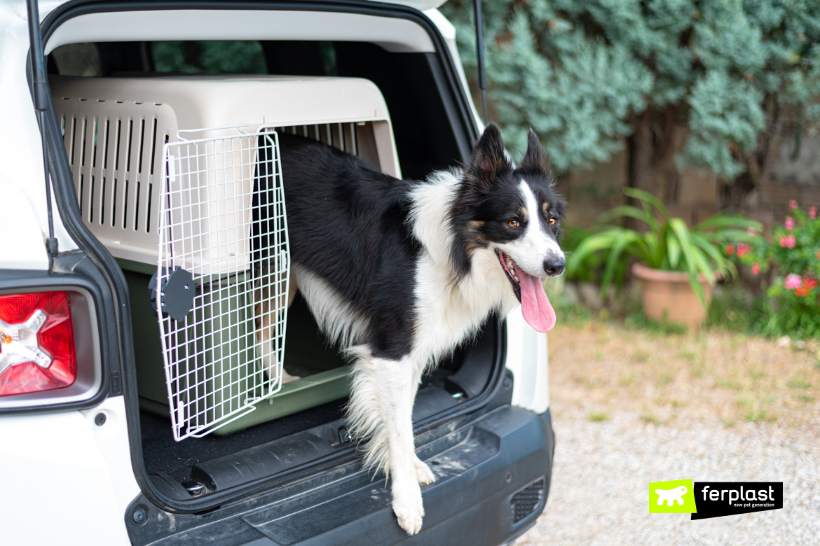 personnage border collie