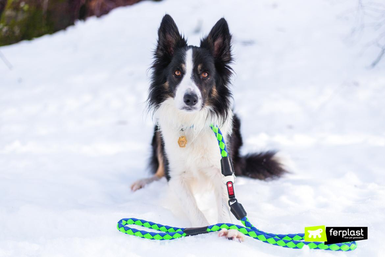 caractéristiques race chien border collie