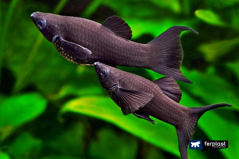 comment élever poisson noir molly