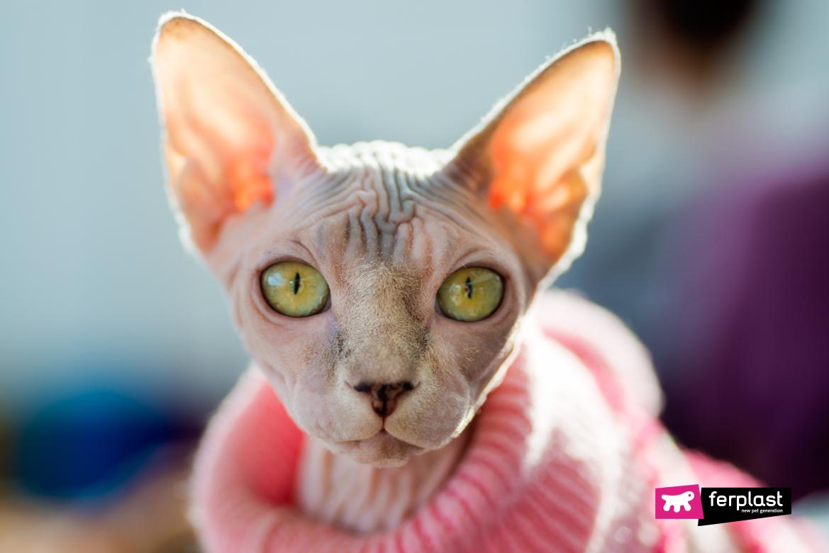 Sphynx-raça-de-gato-sem-pêlo