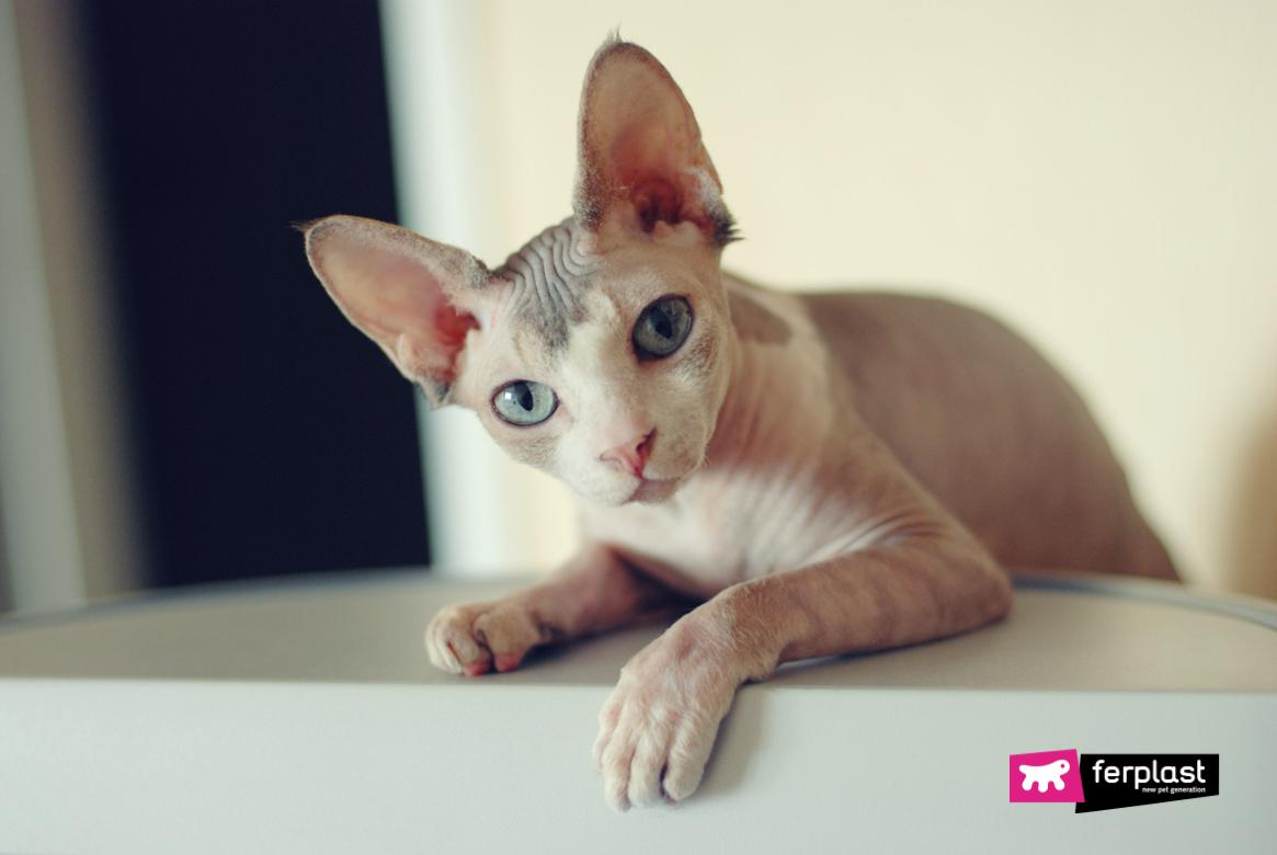 Sphynx: razza di gatto senza pelo