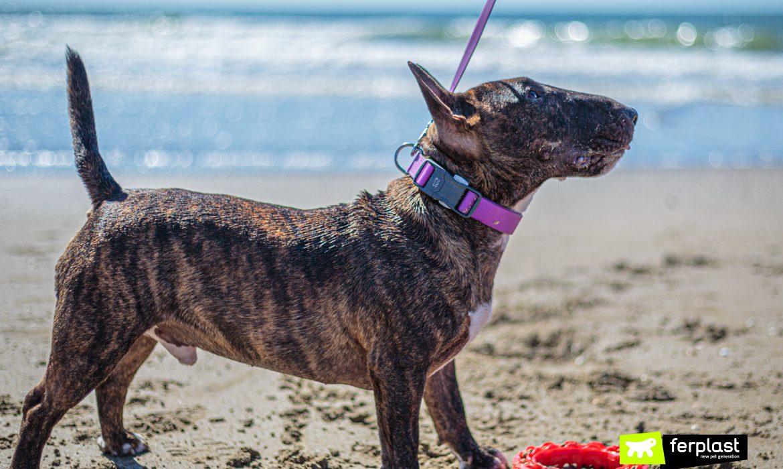 Profilo di Bull Terrier Miniature