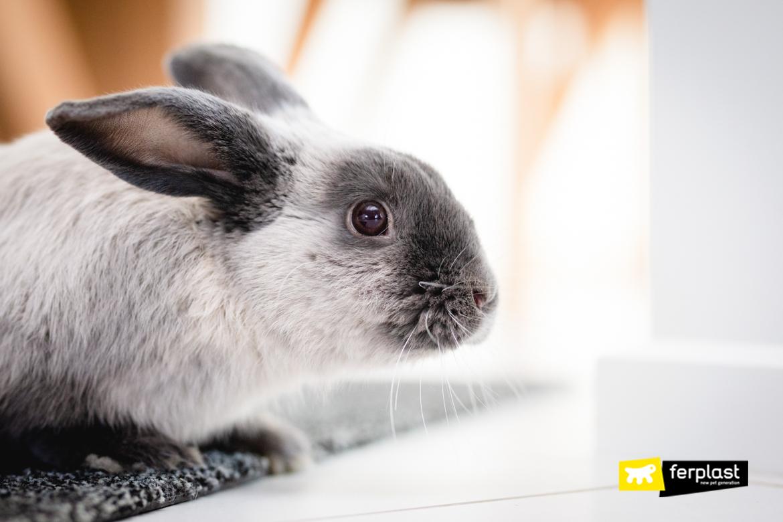 Coniglio domestico di profilo