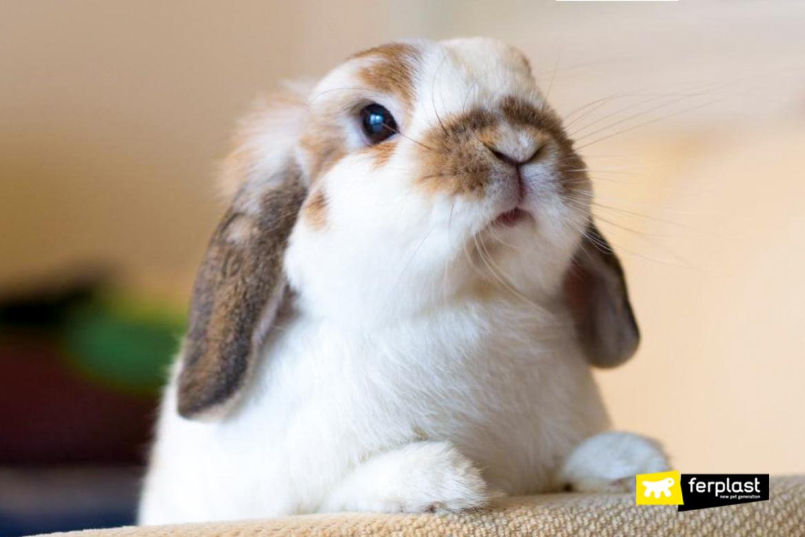 Coniglio domestico in primo piano