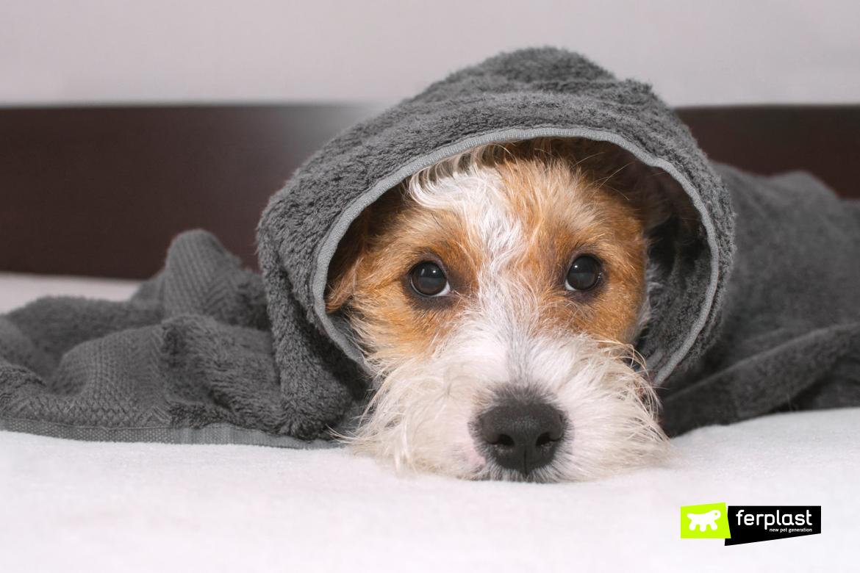 Cane con il raffreddore sotto la coperta