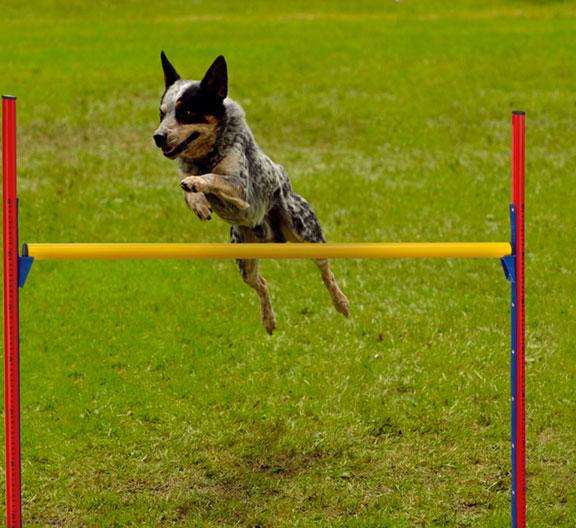 addestrare-cane-agility