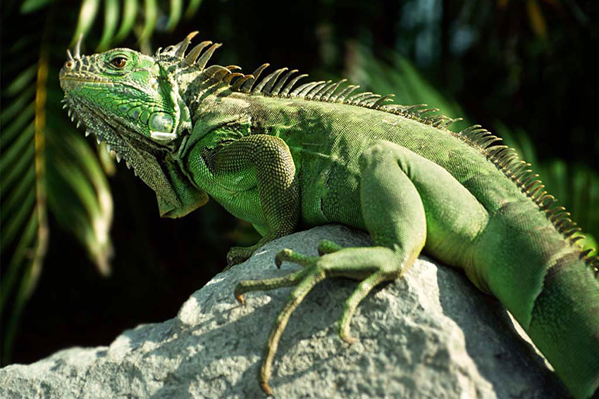 perchè-adottare-iguana-animale-preistorico-rettile