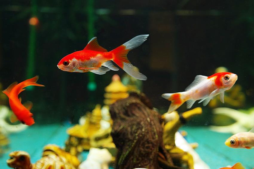 chef-pro-pesci-rossi-ferplast-acquario-prendersi-cura-dei-pesci-in-vacanza-come-fare-per-