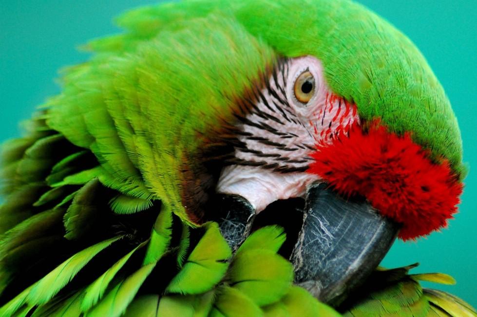 primo_piano_pappagallo_ferplast-perchè-adottare-un-pappagallo