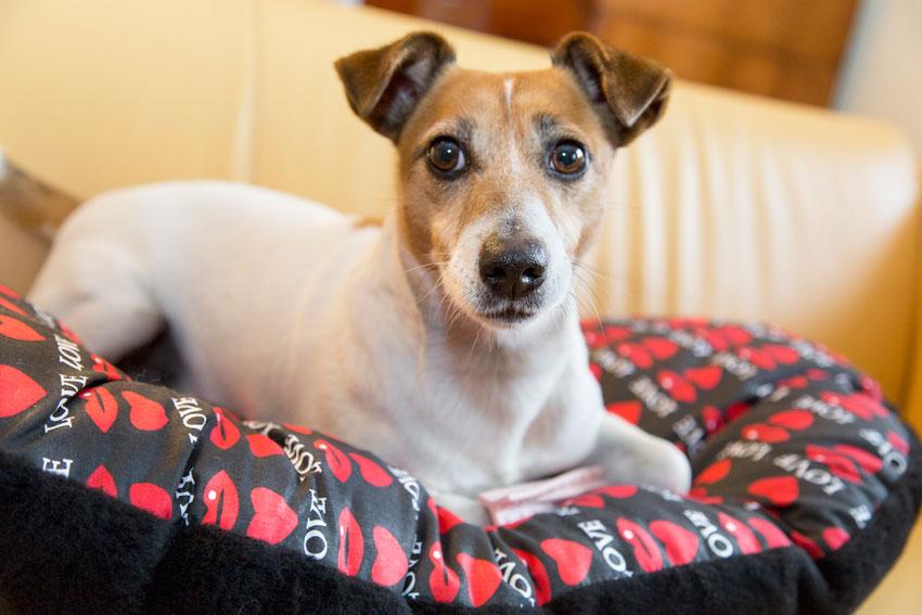 proteggere il cane dal freddo Jack Russell su cuscino double-face Relax F di Ferplast