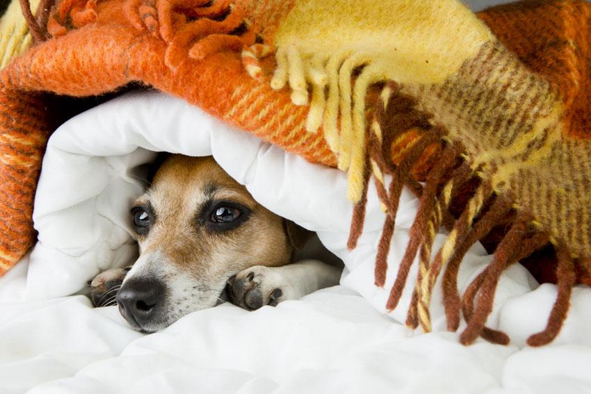 proteggere il cane dal freddo jack russell che si nasconde sotto una coperta