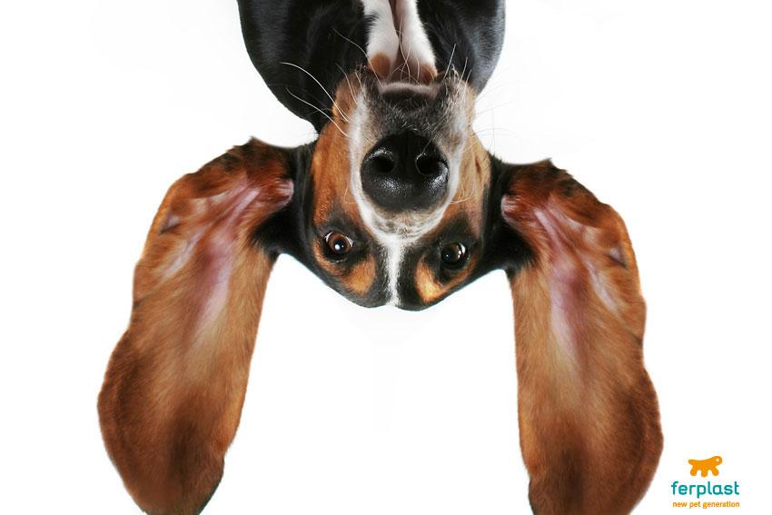 cane-bassotto-orecchie-giganti