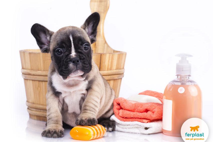 cane di razza french bulldog con accessori per il bagno
