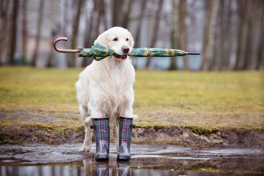 portare fuori il cane quando piove cane che aspetta con stivali da pioggia e ombrello in bocca